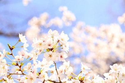 長い花柄が特徴の桜