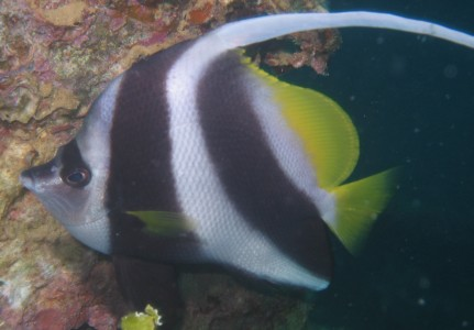 The Masked Bannerfish Heniochus monoceros is brighter than its