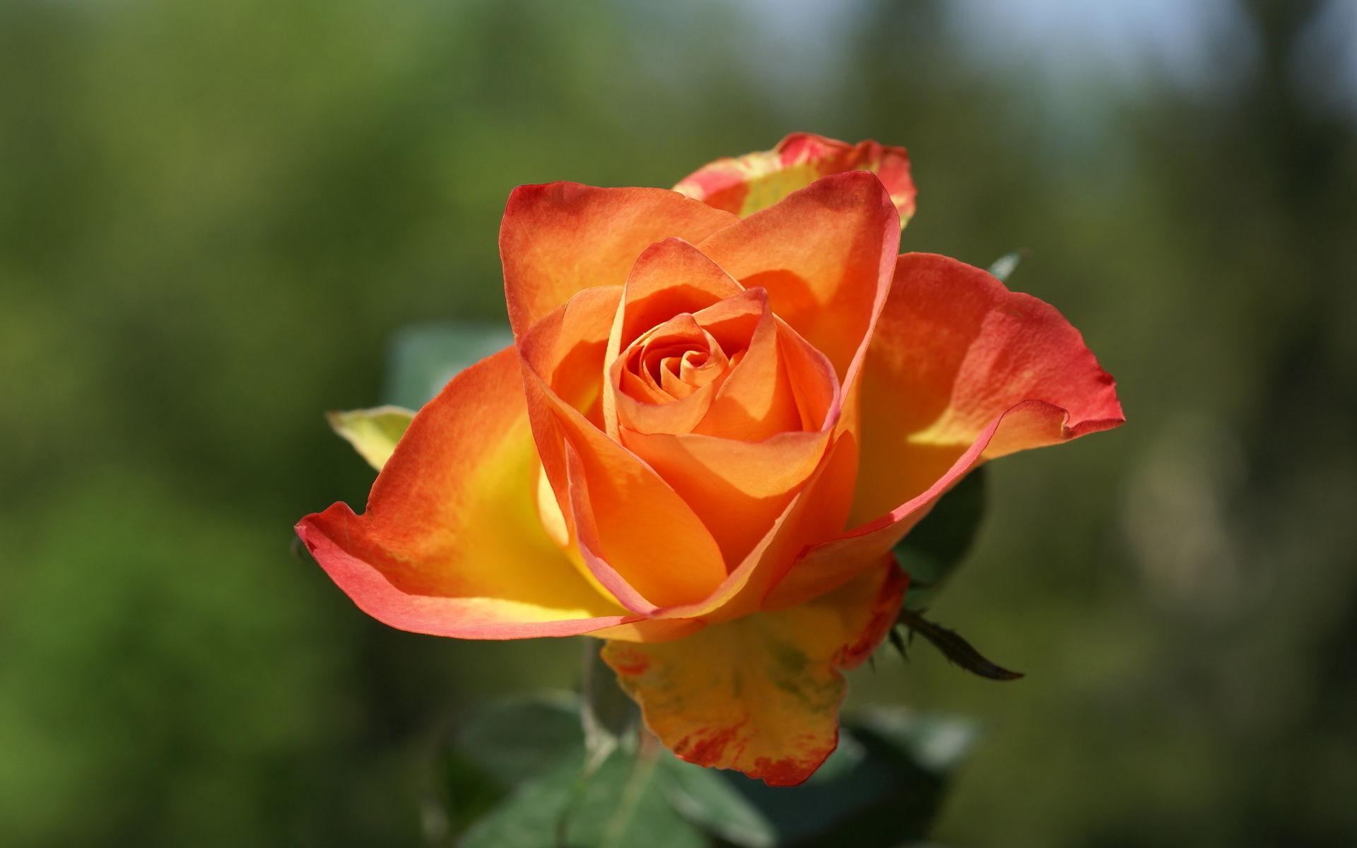 Single Rose Wallpaper Hd Orange Rose Haidemorala