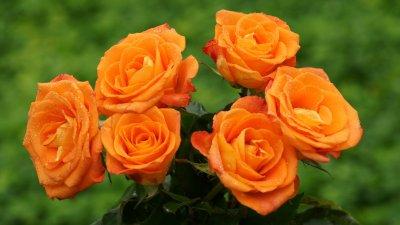 Orange Rose | haidemorala