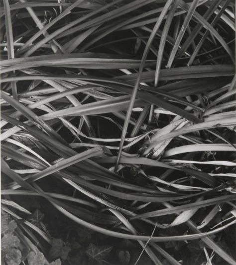 Paul Strand. Lily Leaves, Winter, Orgeval.