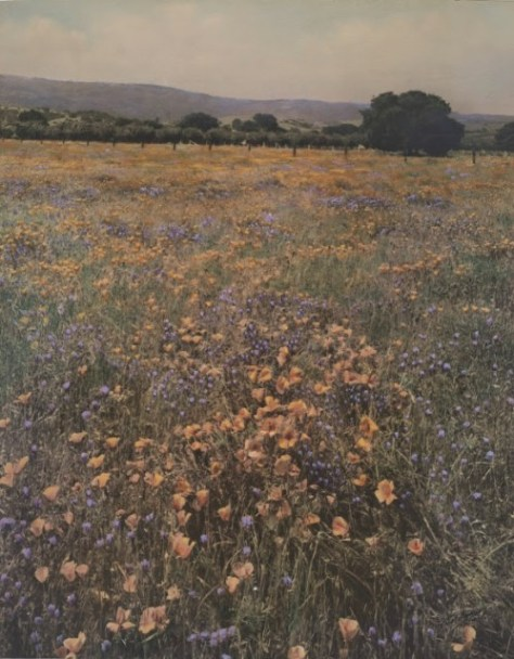 Willard Worden. Poppies and Lupine, ca. 1915