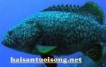 Cá mú sao xanh – Cá mú sao xanh mua ở đâu ở tphcm