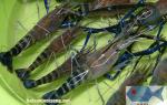 Tôm càng xanh – Giá tôm càng xanh sống (Size 20 -30 con/kg)