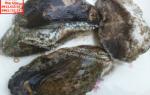 Bào ngư dài – Bào ngư dài tươi sống (Size 10-12 con/kg)