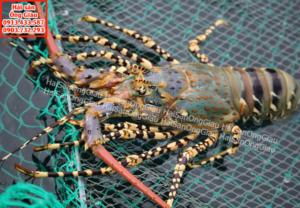 Tôm hùm bông – Hải sản tươi sống giá bán bao nhiêu 1kg