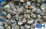 Ốc hương – Ốc hương (Size 50 – 60 con/kg) giá bao nhiêu