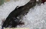 Cá lăng đuôi đỏ – Giá cá lăng đuôi đỏ tươi bao nhiêu?