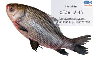 Cá Hô là cá gì?