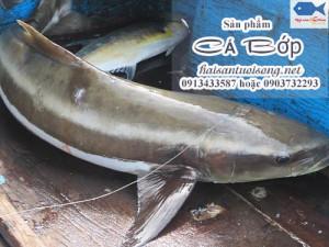 Mua Cá Bớp (Cá Giò) – Giá cá Bớp tươi sống bao nhiêu 1 kg?