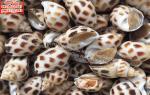 Ốc hương – Ốc hương (Size 70 – 80 con/kg) giá bán bao nhiêu