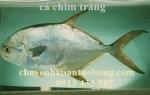 Bán cá chim trắng tươi sống giá sỉ lẻ bao nhiêu tiền tại TpHCM