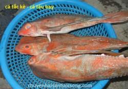Cung cấp bán cá Tắc Kè tươi sống giá sỉ lẻ tại TpHCM – Hà Nội