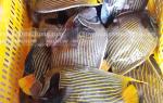 Giá mua bán cá nanh heo-thiên thần tại TPHCM bao nhiêu 1 kg