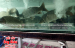 Giá bán cá chép giòn mua ở đâu tại TPHCM bao nhiêu 1 kg