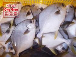 Giá bán cá chim trắng biển nước mặn tại TpHCM hiện nay