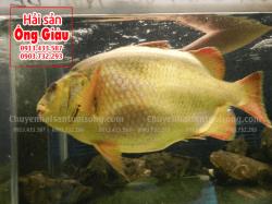 Cá chìa vôi Nhà Bè tươi sống là cá gì – Giá bán bao nhiêu 1 kg ở TpHCM