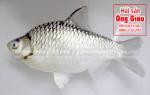 Cá mè là cá gì – mua ở đâu bán tại TpHCM – nấu món gì ngon