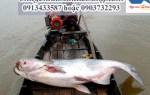 Cá Tra Dầu – nơi mua cá tra dầu chất lượng – giá bán bao nhiêu 1kg