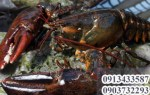 Tôm hùm alaska mua ở vựa hải sản TpHCM nào chất lượng