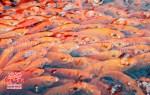 Thịt cá chép đỏ tươi ngon, nơi bán cá chép đỏ