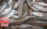 Giá bán và nơi bán cá mối tươi sống ở TPHCM