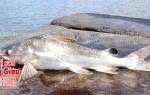Cá ngạnh tươi sống nguyên con bao nhiêu tiền 1kg tại TPHCM
