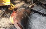 Cá tra dầu giá bao nhiêu tiền 1 kg tại tphcm – làm món gì ngon