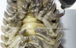 Bọ biển khổng lồ Quy Nhơn giá bao nhiêu tiền 1kg – mua ở đâu bán
