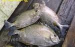 Mua cá Dìa Bông ở đâu tại TpHCM – nơi cung cấp giá sỉ lẻ