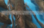 Cá mú sao xanh biển mua ở đâu – giá bao nhiêu tiền 1kg