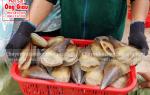 Bán Sò Mai sống tại TpHCM – giá mua bao nhiêu ở Sài Gòn