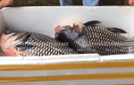 Địa chỉ bán cá Hô tươi sống giá bao nhiêu tiền 1 kg tại TpHCM