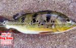 Cá Hoàng Đế – cá Hoàng Bảo Yến là cá gì – giá bao nhiêu – ở đâu bán