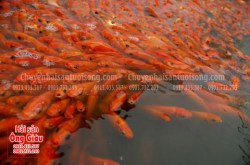 Cá chép đỏ tươi sống, nơi bán cá chép đỏ