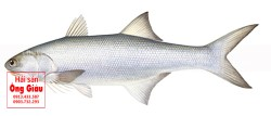 Bán cá gộc tươi sống – gợi ý các món ăn ngon