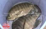 Nơi bán cá rô phi tươi sống giá tốt nhất