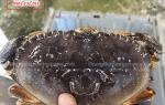 Cua biển Bắc Mỹ Dungeness mua ở đâu bán – giá bao nhiêu tiền 1 kg