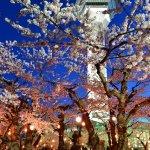 2015年・函館満開の桜写真集-函館公園屋台や電飾も