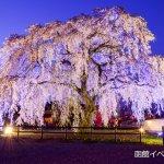 【2017/4/29~5/10】桜ライトアップ「北斗桜回廊」(北斗市)