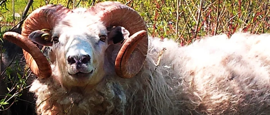 Icelandic Sheep Remain Unchanged Since Medieval Times