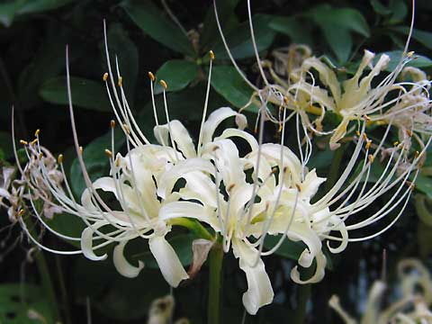 Pc Fall Wallpaper Gallery White Spider Lilies