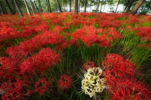 彼岸花、Red spider lily
