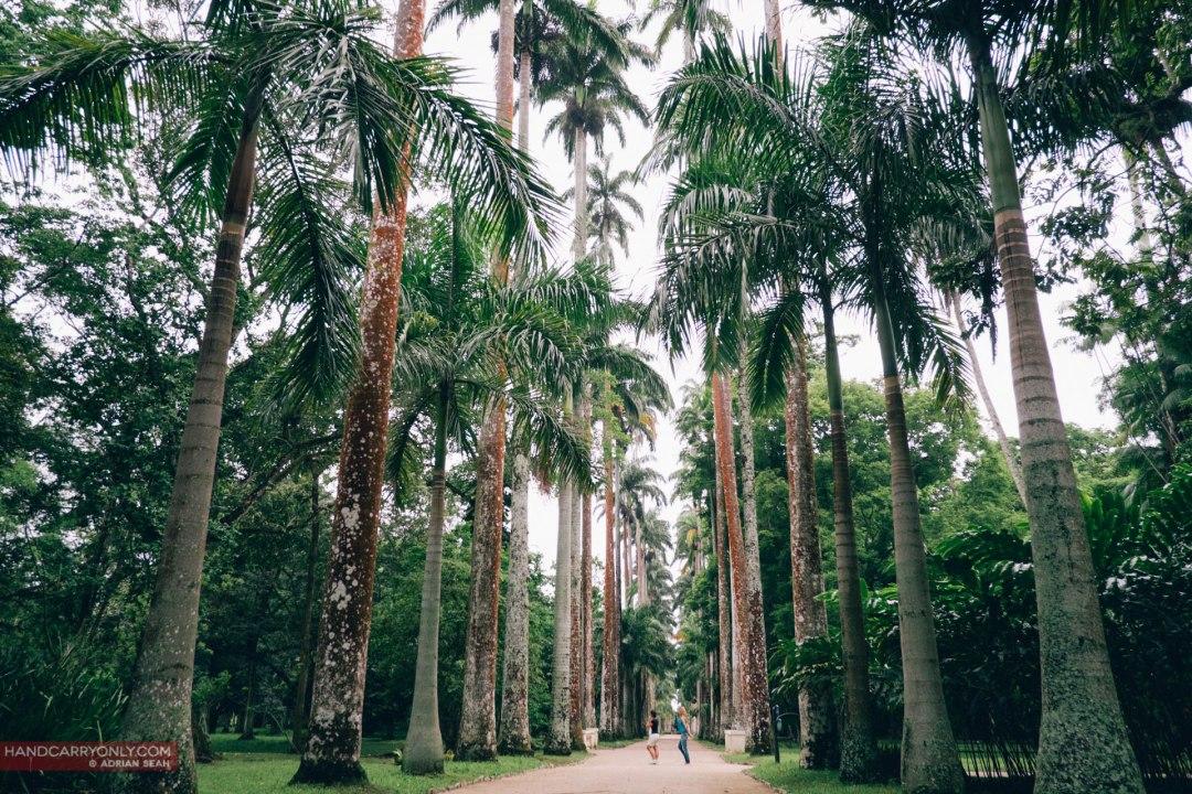 Royal Palms line an avenue in the Botanical Gardens. rio de janeiro brazil