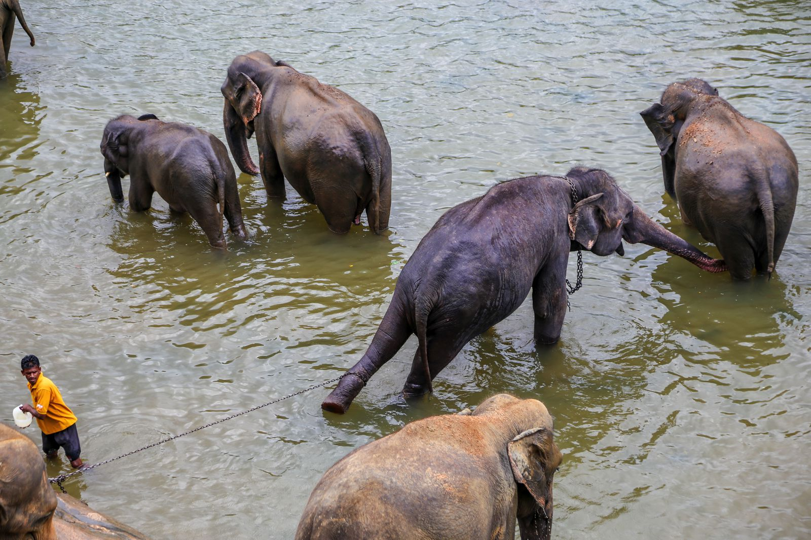 Photos éléphants Here S Why You Should Never Visit Pinnawala Elephant Orphanage In