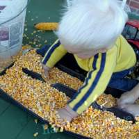 Corn Sensory Activity for Toddlers