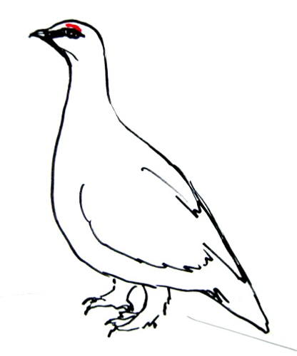 Белая куропатка рисунок