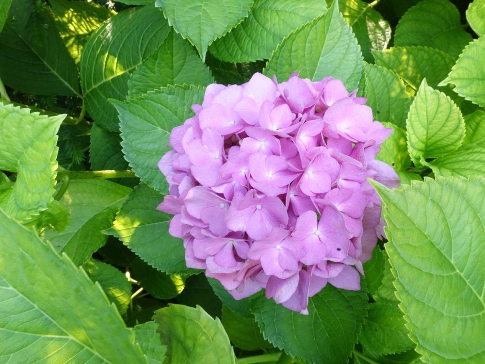 Flower of the Day - Hydrangea