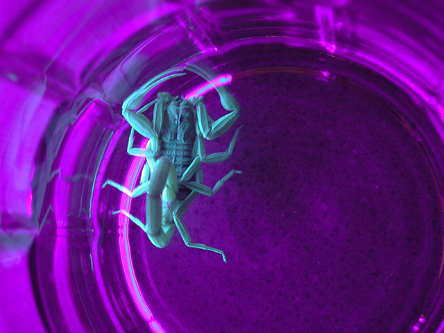 Scorpions can be hunted with a black light