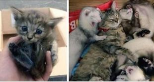 Rescue Kitten Adopted By Five Ferrets Now Thinks She's A Ferret Too